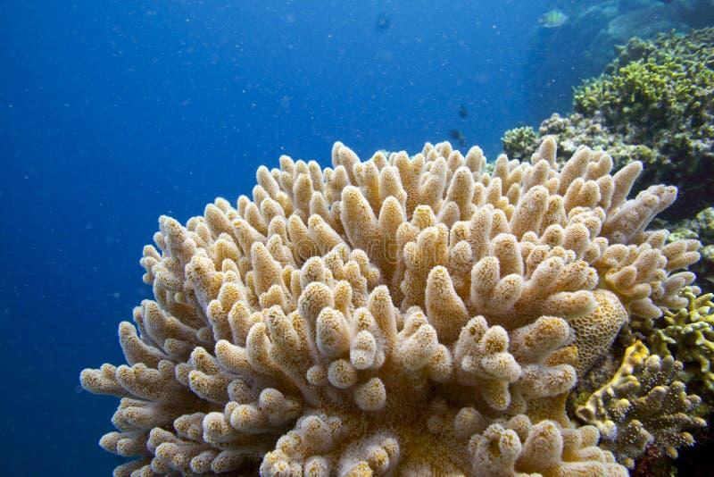 Miękkich korali tropikalny rafowy podwodny obrazy stock