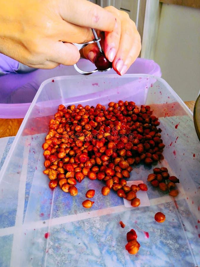 MiÄ™kkie, selektywne skupienie separacji Å›wieżych surowych jagód kawy z pracÄ… rÄ™cznÄ…, sortowanie czerwonych surowych ziaren  zdjęcia stock