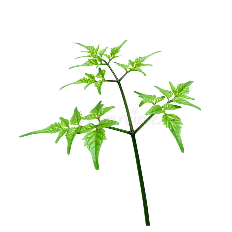 Download Miękkiej Części Gałąź I Zielona Gałązka Zdjęcie Stock - Obraz złożonej z pokój, roślina: 57657532