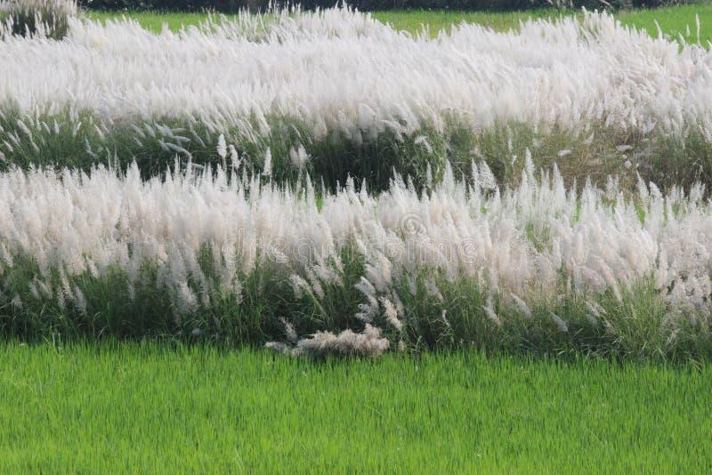 Miękkiej części piórkowa trawa zdjęcie stock