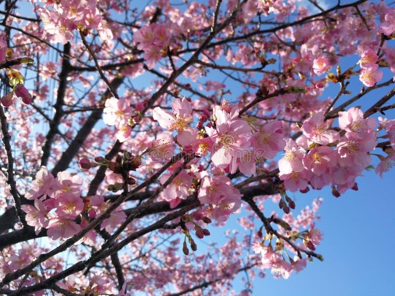 Miękkiej ostrości Czereśniowego okwitnięcia lub Sakura kwiat na natury tle zdjęcie royalty free