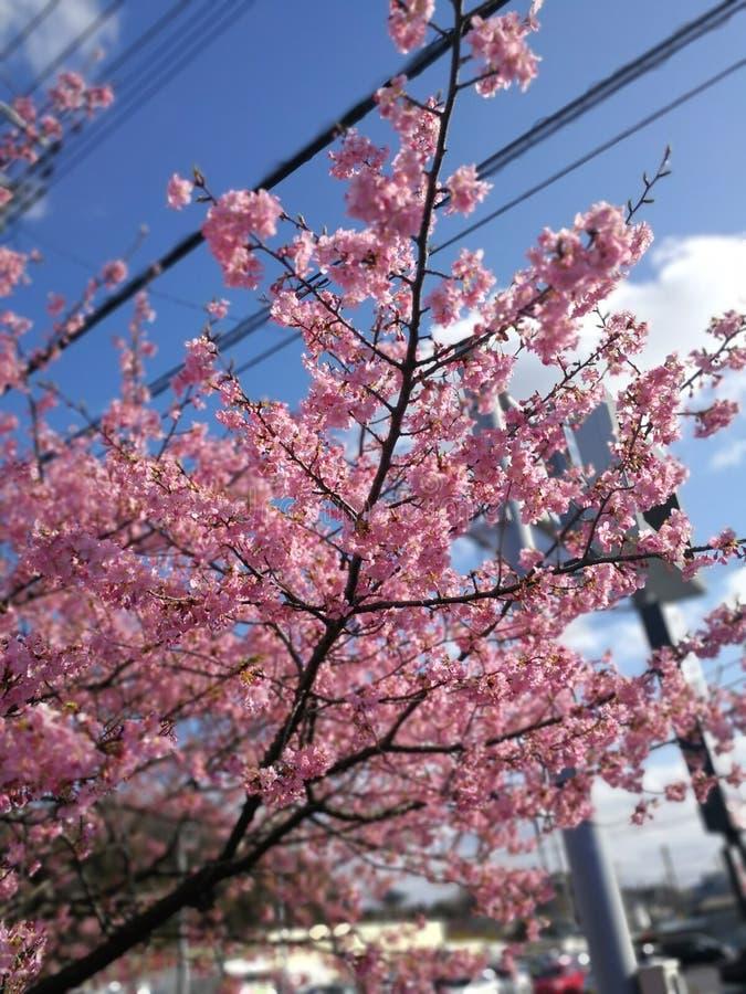 Miękkiej ostrości Czereśniowego okwitnięcia lub Sakura kwiat na natury tle zdjęcie stock