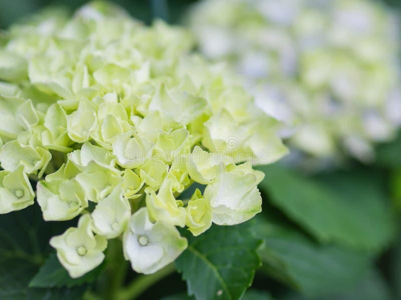 Miękkiej ostrości hortensi Paniculata Kremowy biały światła rampy kwitnie fotografia royalty free