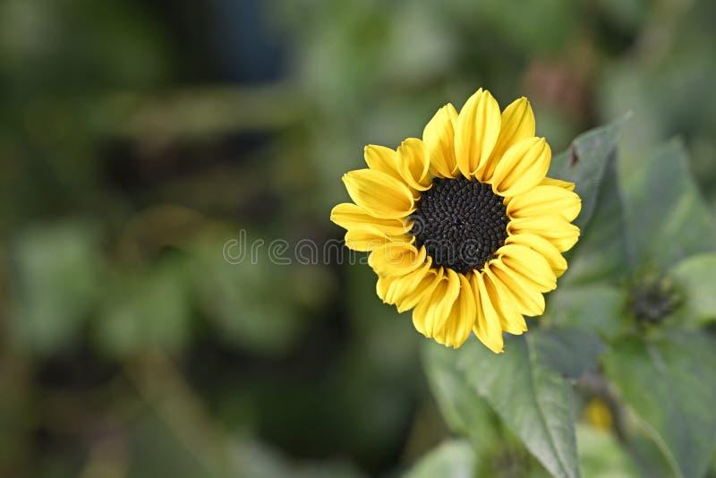 Miękko żółty słonecznik w ogrodzie obraz royalty free