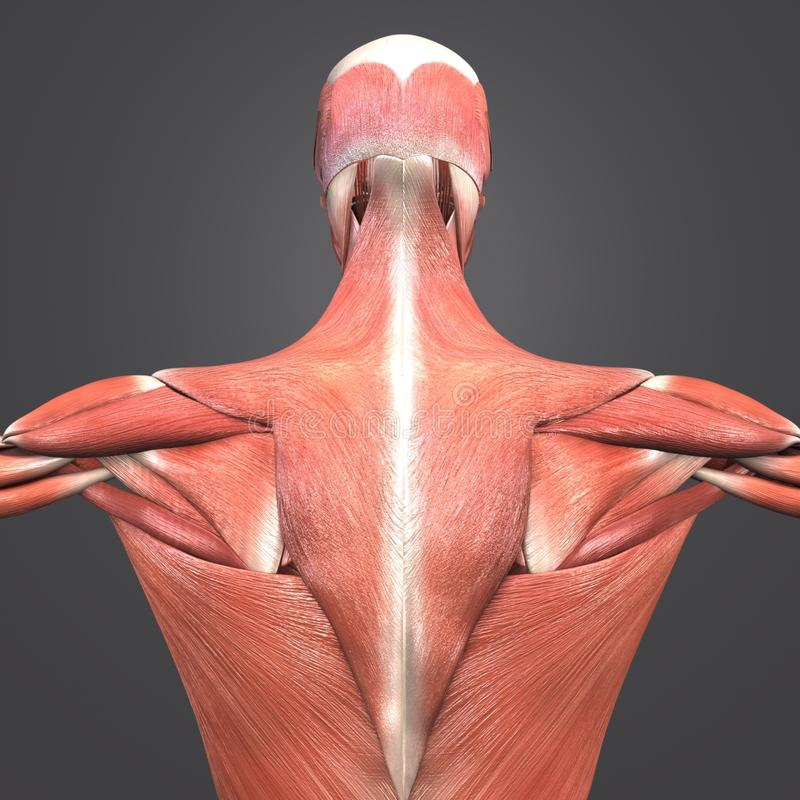 Mięsień anatomii Posterior widok ilustracji