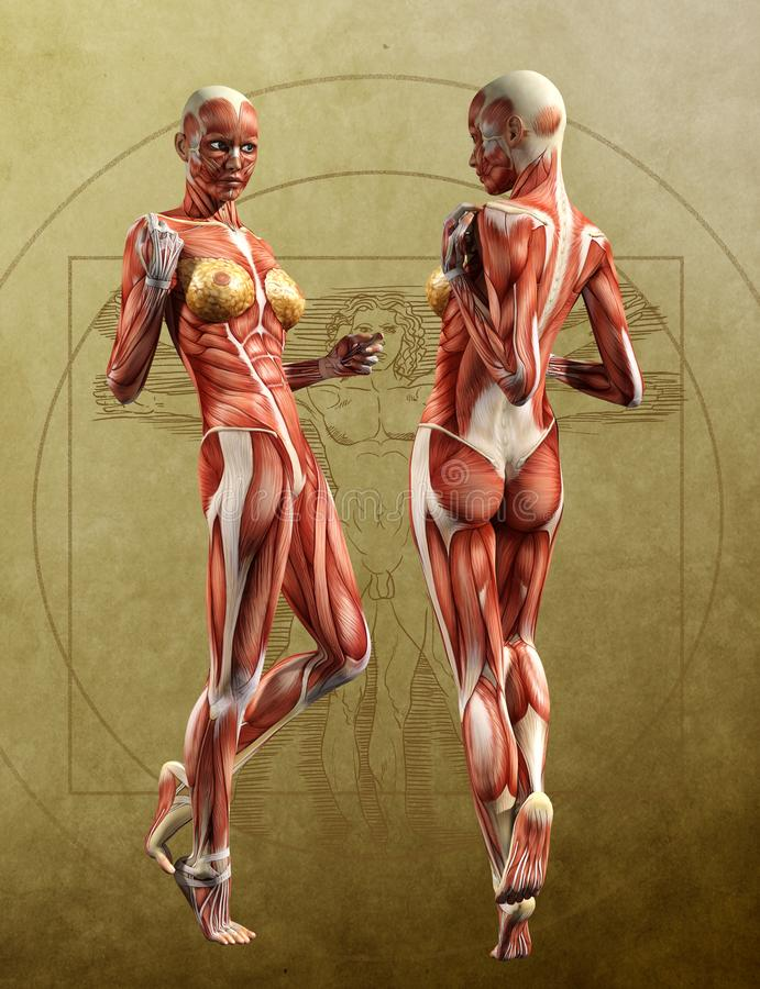 Mięsień Kartografuje lustro anatomii przód, plecy - Dorosła kobieta royalty ilustracja