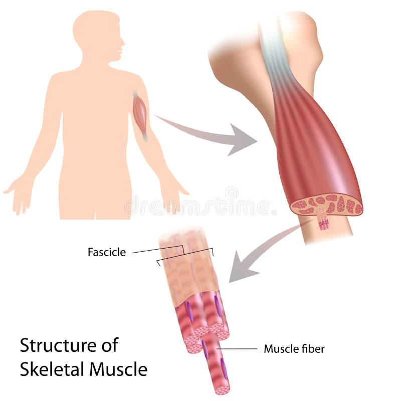 Mięsień kośćcowa struktura ilustracji