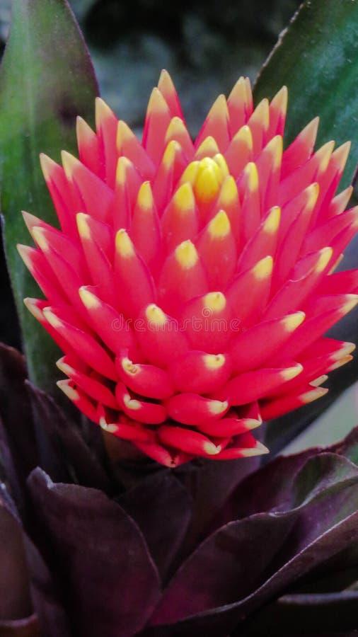 Mięsisty bromelia kwiat zdjęcie royalty free