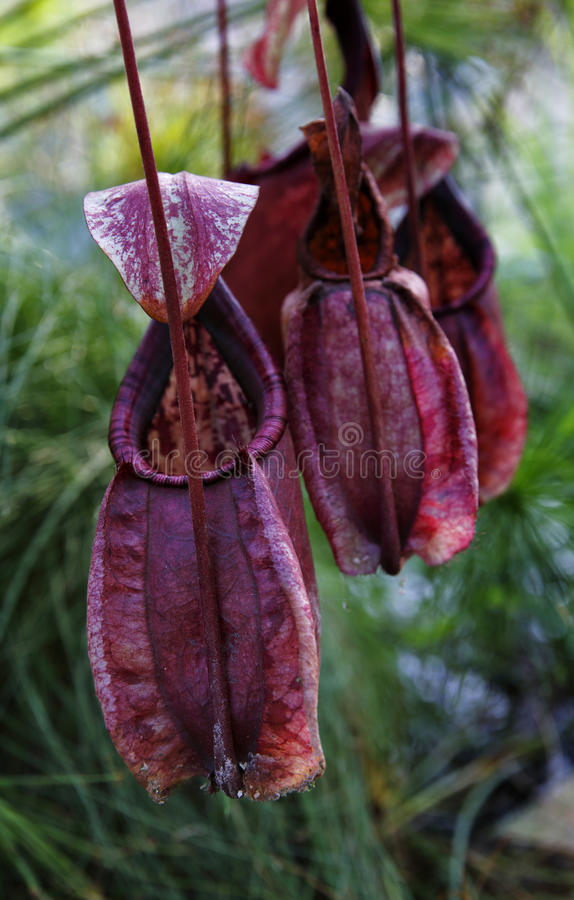 Mięsożerna roślina obrazy royalty free