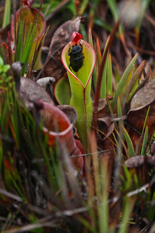 Mięsożerna roślina je ścigi w Roraima obrazy stock