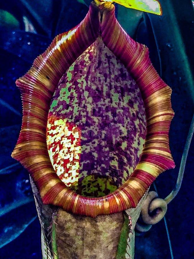 Mięsożerna roślina - tropikalnego miotacza rośliny obrazy royalty free