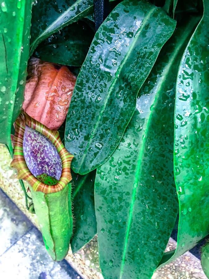 Mięsożerna roślina - tropikalnego miotacza rośliny zdjęcie stock