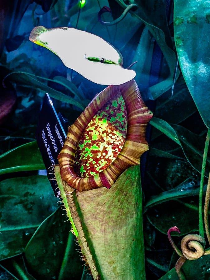mięsożernej rośliny _tropikalnego miotacza rośliny zdjęcia royalty free