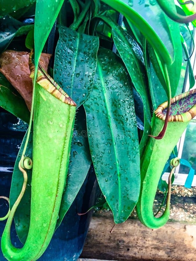 mięsożernej rośliny _tropikalnego miotacza rośliny obraz royalty free