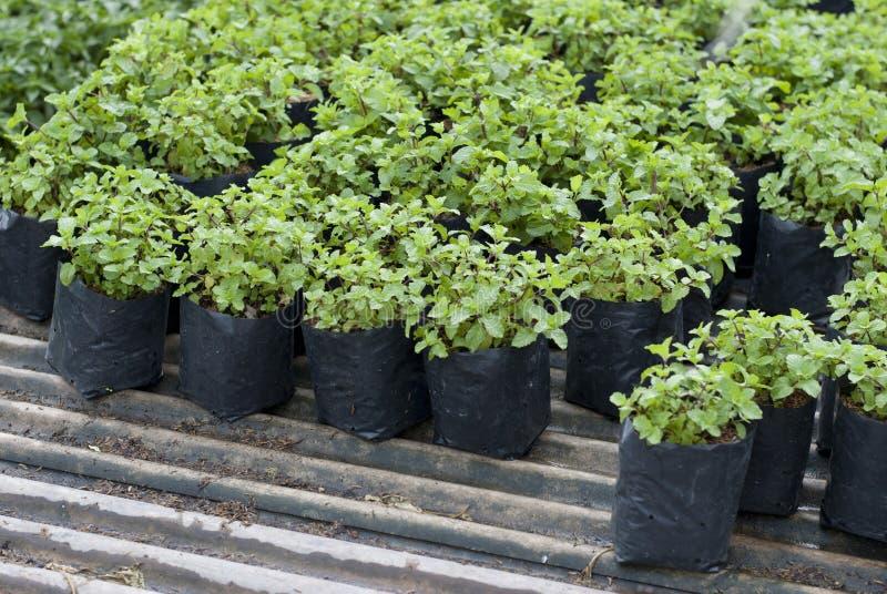 Miętówek rośliny w pepinierze fotografia royalty free