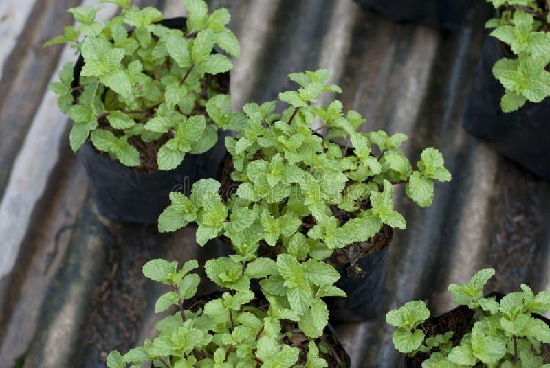 Miętówek rośliny w pepinierze obrazy royalty free