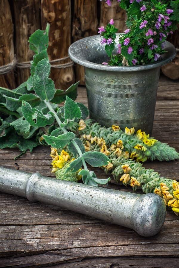 Miętówka jest odwiecznie zielnym rośliną zdjęcie stock