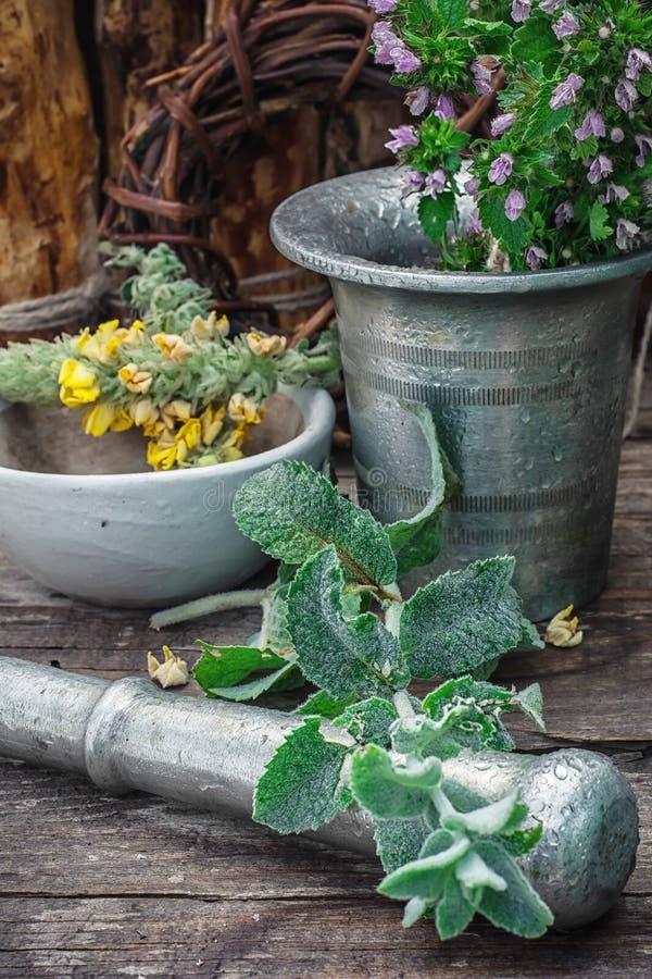 Miętówka jest odwiecznie zielnym rośliną obrazy royalty free