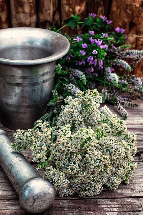 Miętówka jest odwiecznie zielnym rośliną zdjęcia stock