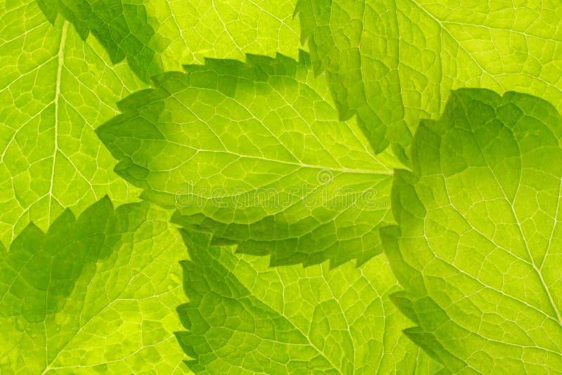 Miętówka liści wzór obraz stock