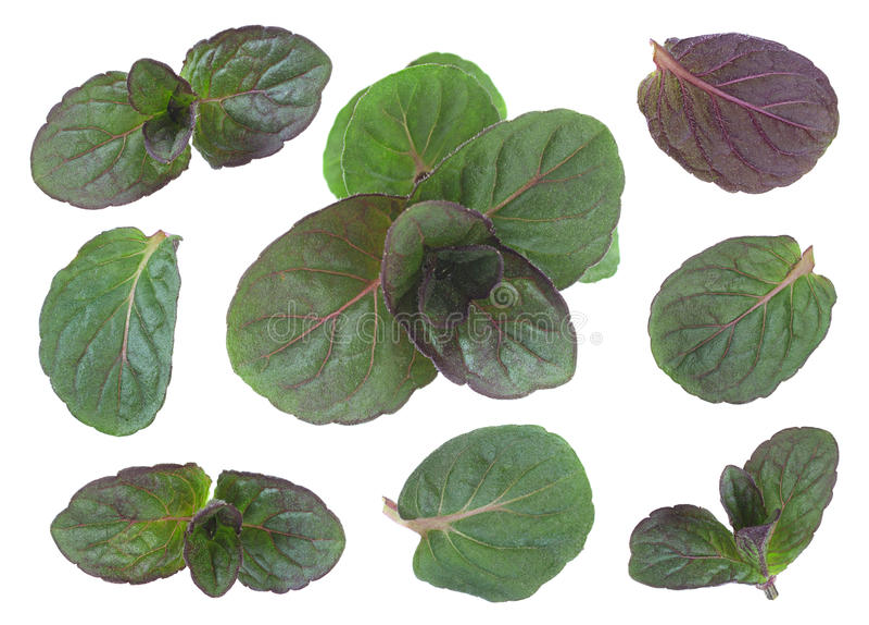 Miętówka liścia nowa młoda kolekcja obrazy stock