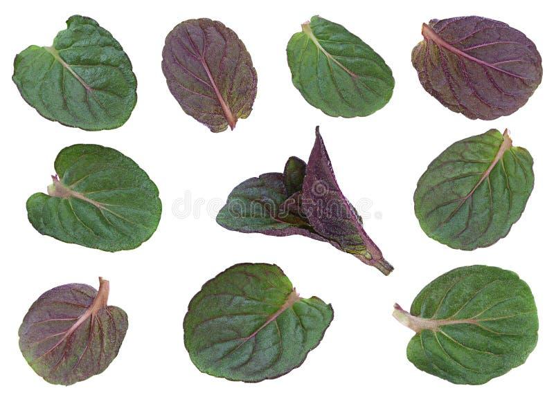 Miętówka liścia nowa młoda kolekcja zdjęcia royalty free