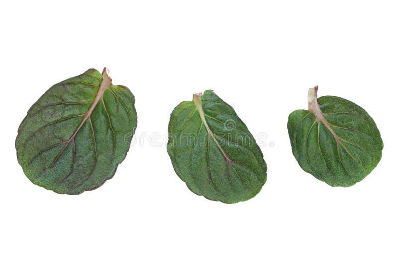 Miętówka liścia nowa młoda kolekcja zdjęcie stock