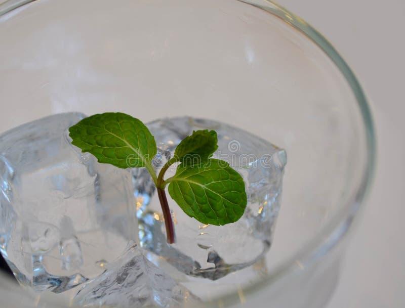 Miętówka liście na kostce lodu fotografia stock