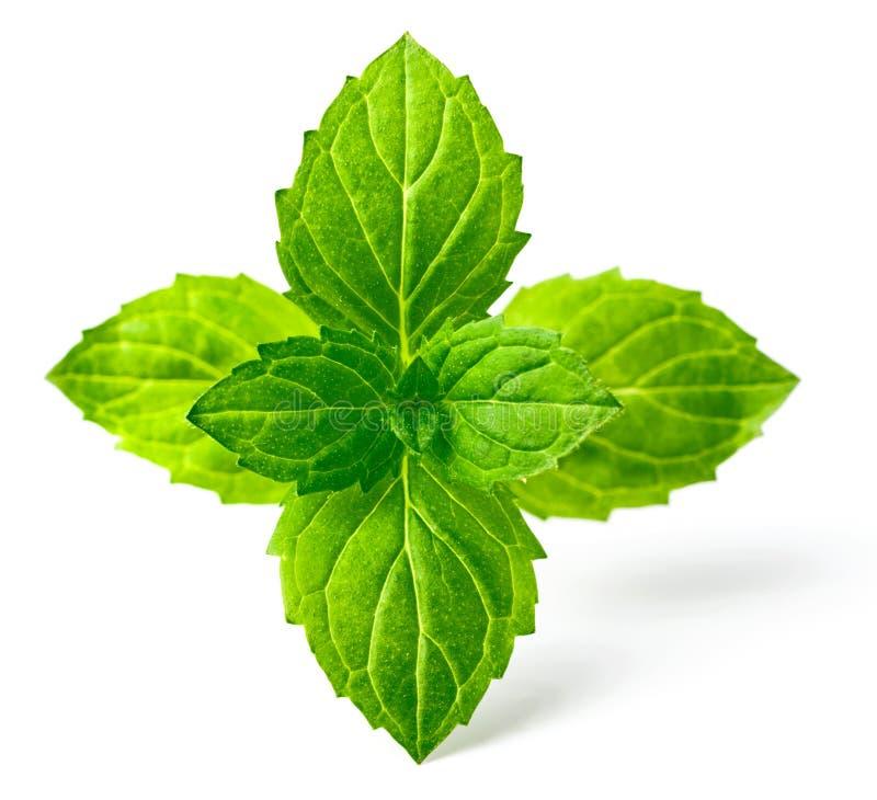 Miętówka liście odizolowywający na białym, świeżym ziele, obrazy royalty free