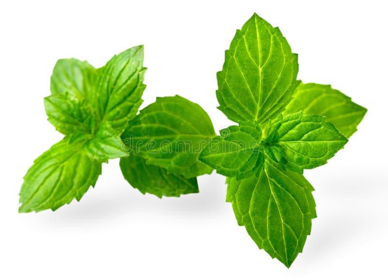 Miętówka liście odizolowywający na białym, świeżym ziele, obraz royalty free