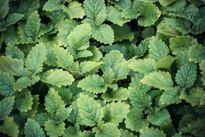 Miętówka liście w ogródzie Zielony tło z bliska fotografia royalty free