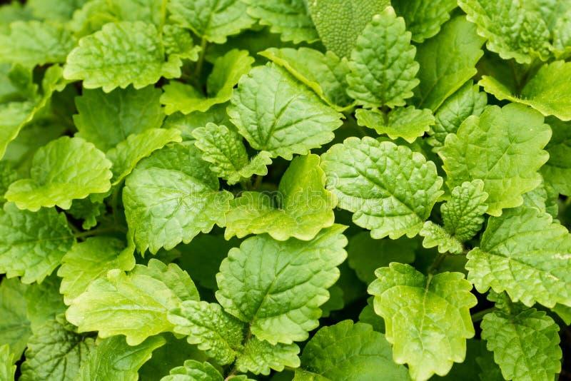 Miętówka liście w ogródzie Zielony tło z bliska zdjęcie stock