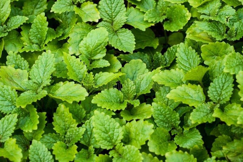 Miętówka liście w ogródzie Zielony tło z bliska zdjęcia royalty free