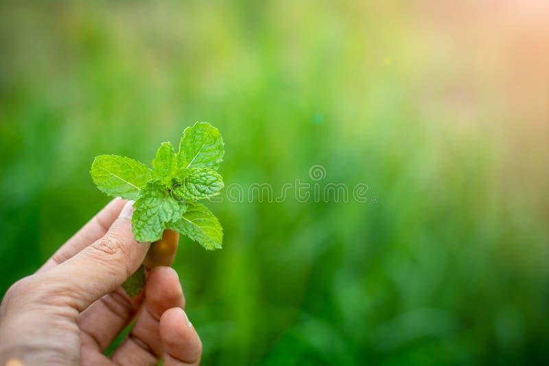 Miętówka liście w ręce fotografia stock