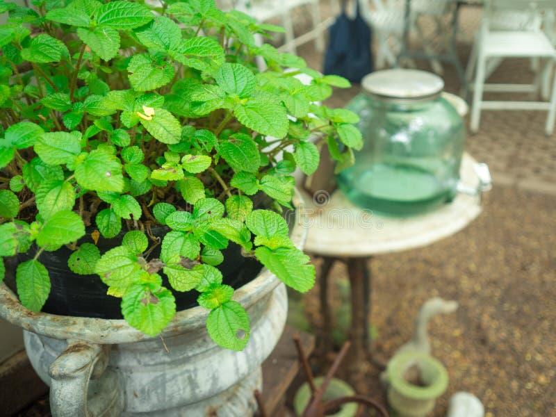 Miętówka - Mentha piperita w ogródzie fotografia stock