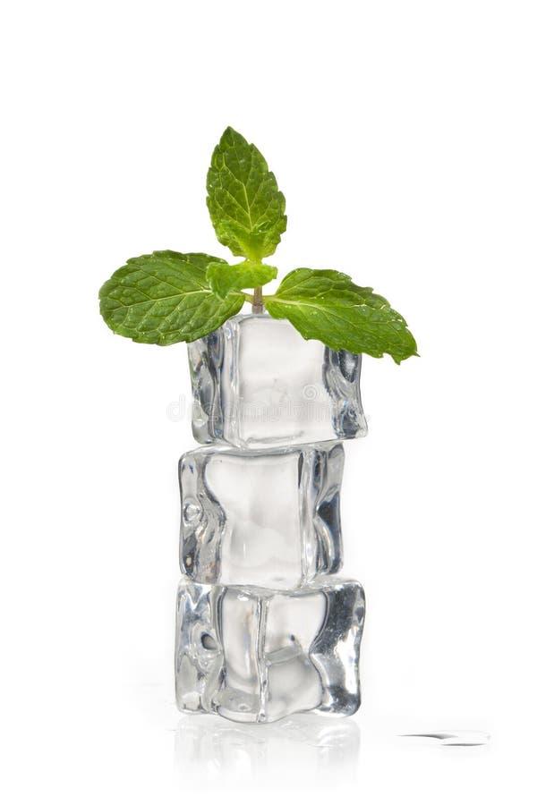Miętówka na kostkach lodu fotografia royalty free
