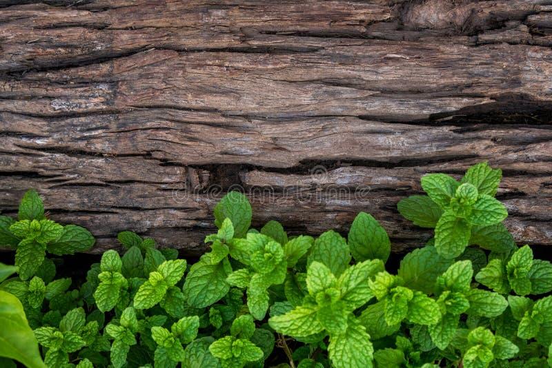 Miętówka na starym drewnianym podłogowym tle obraz royalty free