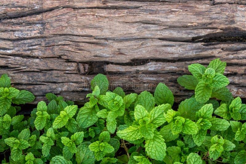 Miętówka na starym drewnianym podłogowym tle zdjęcia stock