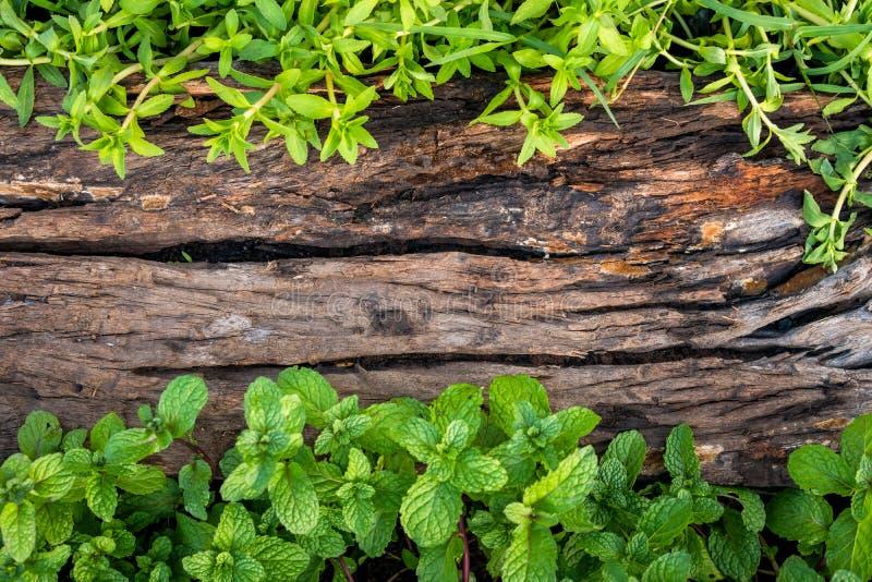 Miętówka na starym drewnianym podłogowym tle zdjęcia royalty free