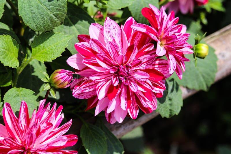 Miętówka styl blotched czerwonych i białych dalia kwiaty obraz stock