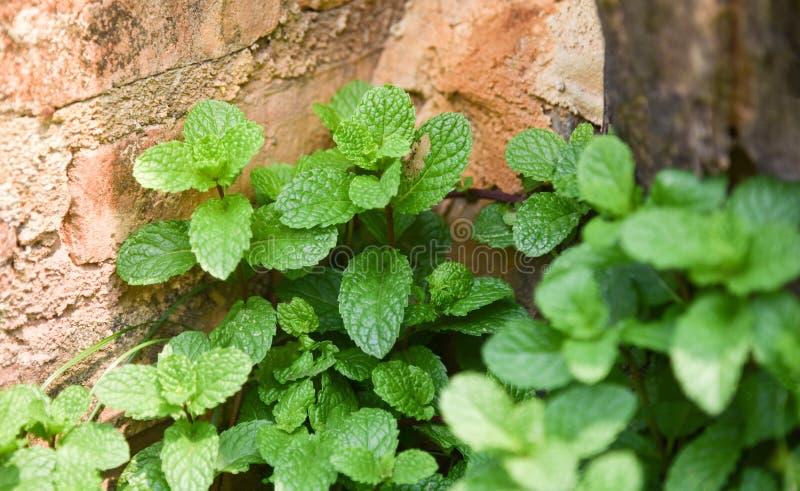 Miętówki ogrodowy warzywo zdjęcia stock