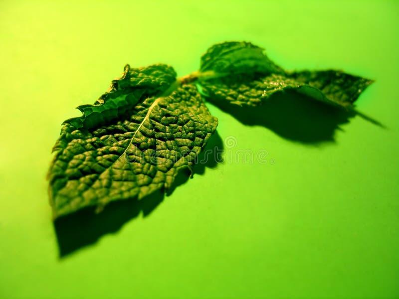 mięta liści obraz stock