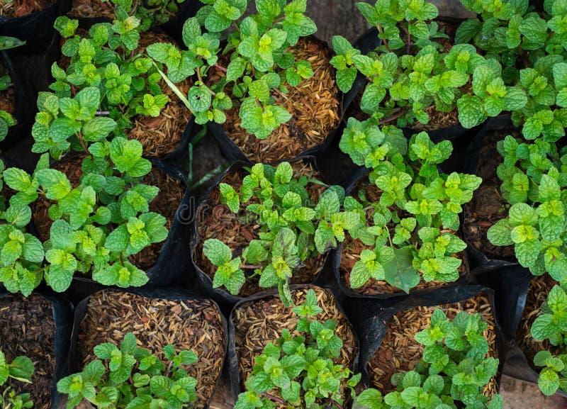 Miętowa roślina w doniczkowym zbliżeniu zdjęcie royalty free