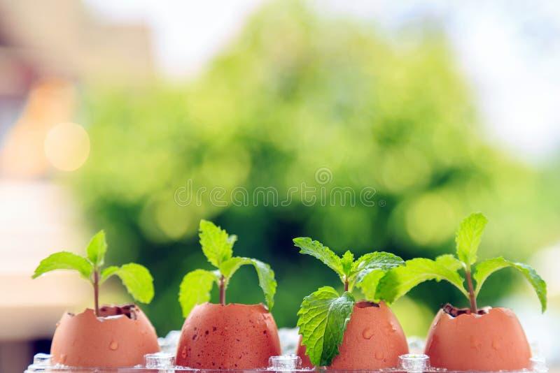 Miętowa roślina w jajecznej skorupie z natury tłem obraz royalty free
