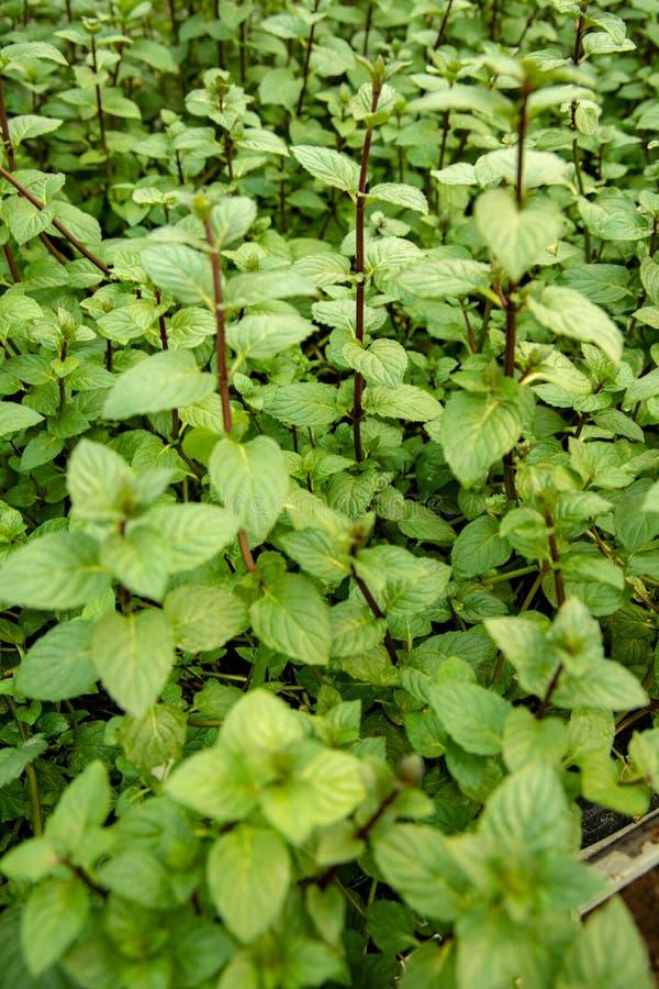 Miętowa roślina w zielarskim ogródzie fotografia royalty free