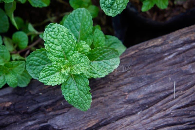 Miętowy ziele lub warzywa w ogródzie roślina jesteśmy pożytecznie zdjęcie royalty free