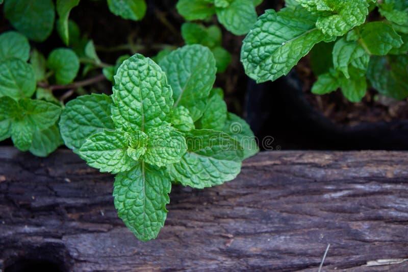 Miętowy ziele lub warzywa w ogródzie roślina jesteśmy pożytecznie obraz royalty free