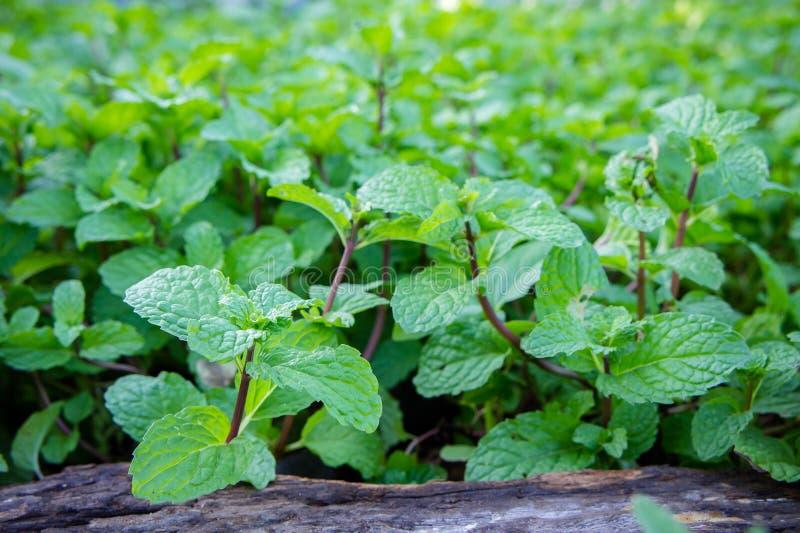 Miętowy ziele lub warzywa w ogródzie roślina jesteśmy pożytecznie zdjęcia stock