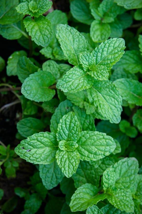 Miętowy ziele lub warzywa w ogródzie roślina jesteśmy pożytecznie zdjęcia royalty free