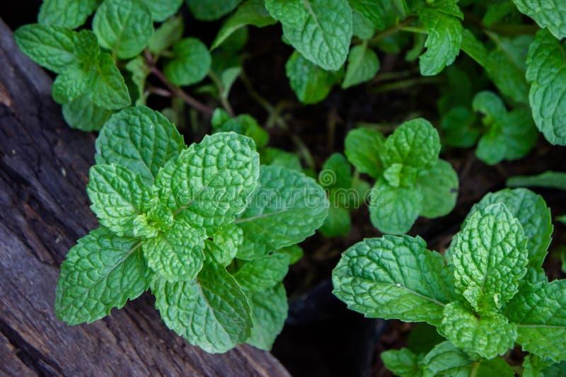 Miętowy ziele lub warzywa w ogródzie roślina jesteśmy pożytecznie zdjęcie stock